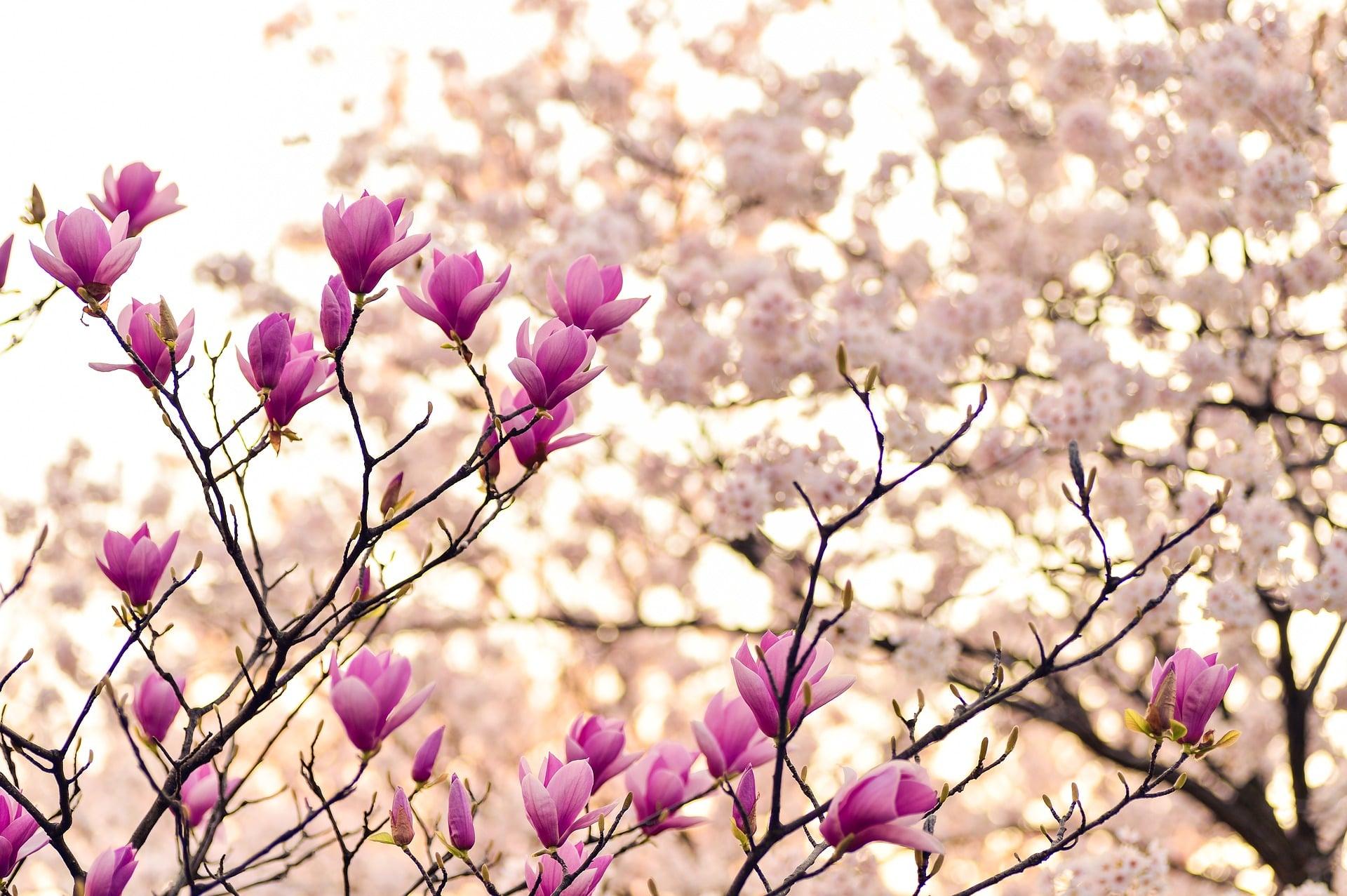 Magnolija – kraljica proljeća